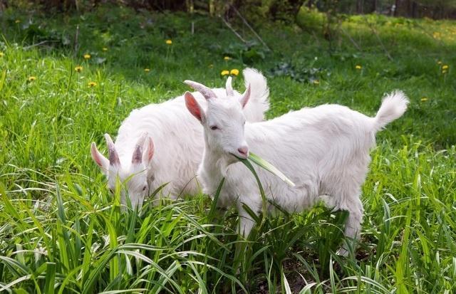 козочки жуют траву