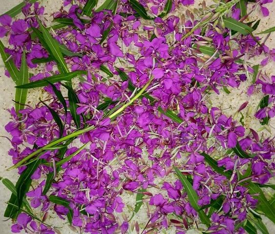 цветы иван-чая сушатся