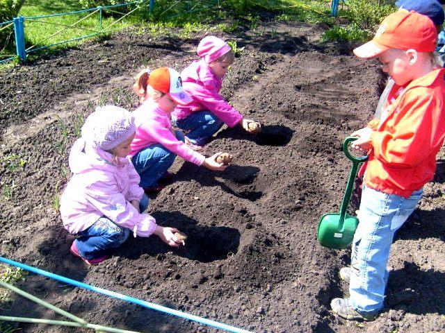 посадка картофеля дети  детский сад